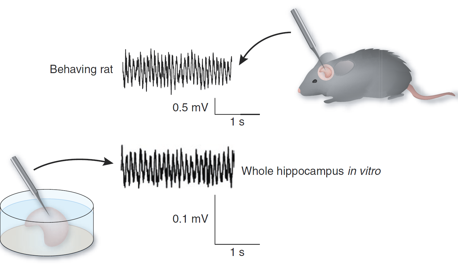 Diagram showing the theta recorded from the complete hippocampus in vitro and that recorded in vivo showing the surprising resemblance in the signal (adapted from Colgin and Moser's News and Views in Nature Neuroscience, 2009)
